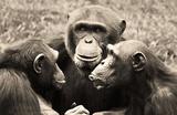 Chimpanzees (Conspiracy) Art Poster Print Masterprint