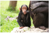 Chimpanzees (Mother & Baby Sitting) Art Poster Print Posters