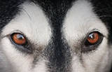 Malamute (Brown Eyes) Art Poster Print Masterprint