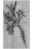 Leonardo da Vinci (Lily stems) Art Poster Print Prints