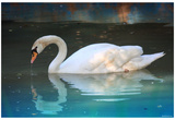 Swan (In Water, Reflection) Art Poster Print Prints
