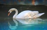 Swan (In Water, Reflection) Art Poster Print Masterprint