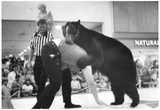 Bear Wrestling 1978 Archival Photo Poster Posters
