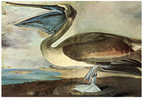 Audubon Brown Pelican Bird Art Poster Print Photo