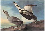 Audubon Labrador Duck Bird Art Poster Print Posters