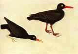 Audubon Black Oystercatcher Bird Art Poster Print Masterprint