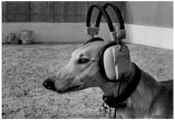 Dog in Headphones Archival Photo Poster Prints