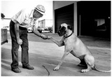 Great Dane Shaking Hands Archival Photo Poster Posters