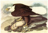 Audubon Bald Eagle 2 With Fish Bird Art Poster Print Póster