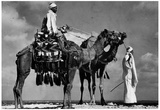 Camels in Egypt Archival Photo Poster Print Prints