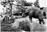 Elephant at Zoo 1974 Archival Photo Poster Prints