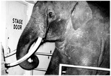 Circus Elephant at Stage Door Archival Photo Poster Prints