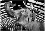 Clown Riding Elephant Archival Photo Poster Prints