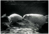Manatees Kissing Archival Photo Poster Print Photo