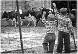 Boys at Cow Farm Archival Photo Poster Print Poster