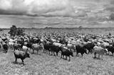 Cattle Drive Archival Photo Poster Print Masterprint
