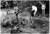 Alligator Wrangling 1973 Archival Photo Poster Poster