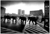 Circus Elephants Crossing Road Archival Photo Poster Photo