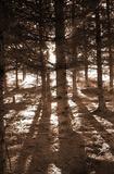 Trees (In Sunlight) Art Poster Print Masterprint