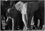 Elephants Archival Photo Poster Print Posters