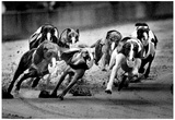 Greyhound Racing at Derby Lane Archival Photo Poster Affiches