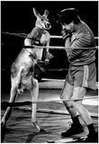 Boxing Kangaroo 1987 Archival Photo Poster Posters