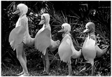 Duck Costumes Archival Photo Poster Posters