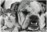 English Bulldog and Cat Archival Photo Poster Print Prints
