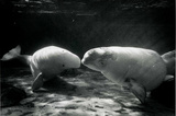 Manatees Kissing Archival Photo Poster Print Masterprint