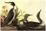 Audubon Red-Throated Loon Bird Art Poster Print Photographie