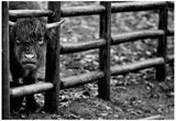 Cow and Fence 1991 Archival Photo Poster Posters
