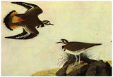 Audubon Killdeer Bird Art Poster Print Posters