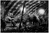 Circus Elephants Performing Archival Photo Poster Posters