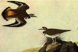 Audubon Killdeer Bird Art Poster Print Masterprint