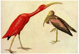 Audubon Scarelt Ibis Bird Art Poster Print Pósters