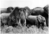 Elephants 1975 Archival Photo Poster Posters