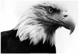 Bald Eagle Archival Photo Poster Poster