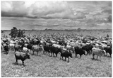 Cattle Drive Archival Photo Poster Print Obrazy