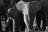 Elephants Archival Photo Poster Print Masterprint