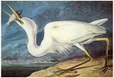 Audubon Great White Heron Bird Art Poster Print Posters