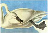 Audubon Trumpeter Swan Bird Art Poster Print Pôsters