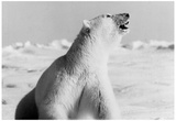 Polar Bear Archival Photo Poster Prints