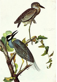 Audubon Yellow-Crowned Night Heron Bird Art Poster Print Masterprint