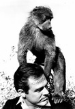 Robert Culp and Baby Baboon 1968 Archival Photo Poster Posters