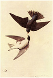 Audubon Tree Swallow Bird Art Poster Print Póster