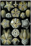Blastoidea Nature Art Print Poster by Ernst Haeckel Prints