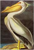 Audubon White Pelican Bird Art Poster Print Affiche