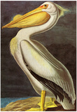 Audubon White Pelican Bird Art Poster Print Print