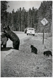 Bear Looking in Car Archival Photo Poster Print Posters