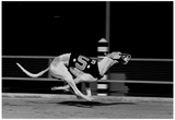 Racing Greyhound Sidecar Archival Photo Poster Print
